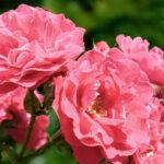 Blog: Gødning af roser