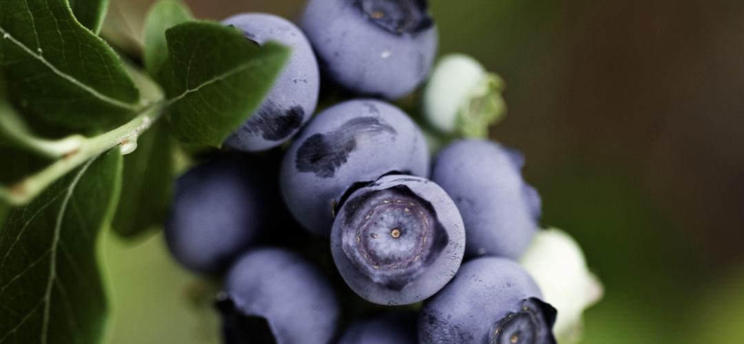 Blog: Pasning af blåbærbuske